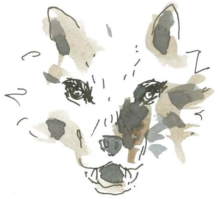 Il lupo disegnato dal M° Antonio Spinogatti